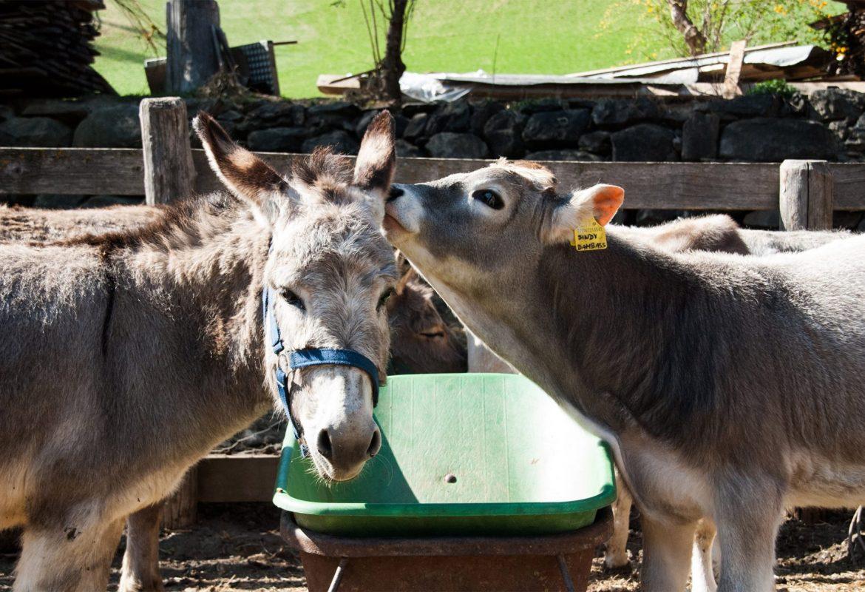 Esel und Kalb